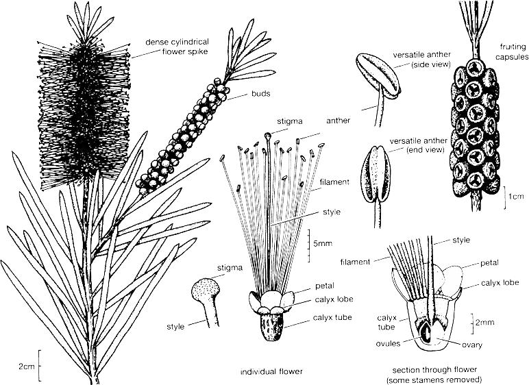 bottlebrush - callistemon