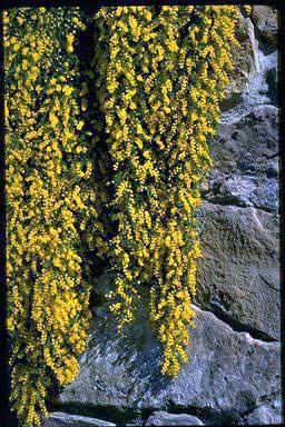 Acacia cardiophylla gold lace dresses